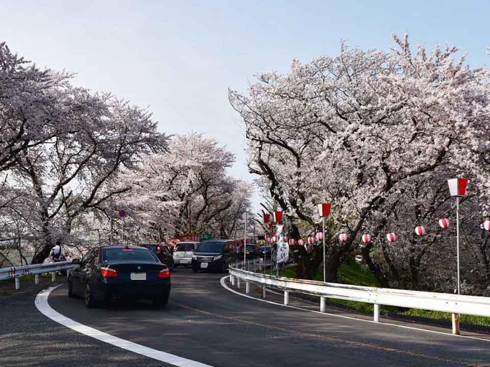 奈良津堤の桜:岐阜市