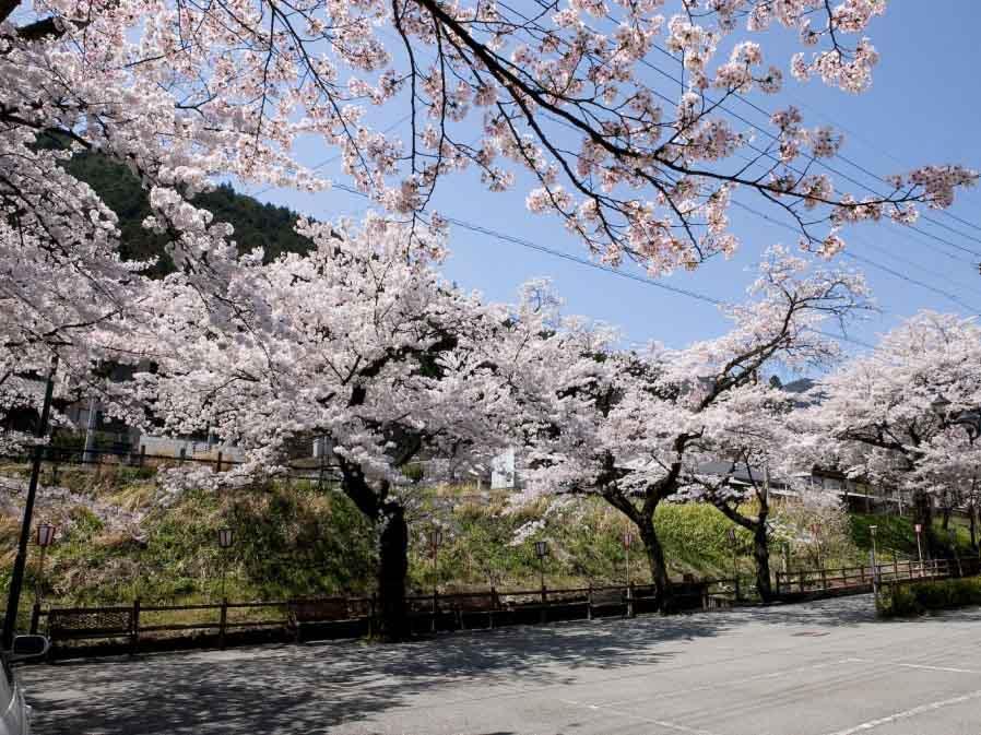 下呂駅周辺の桜:下呂市
