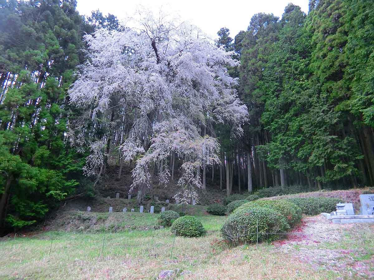 ひよもの枝垂れ桜:恵那市