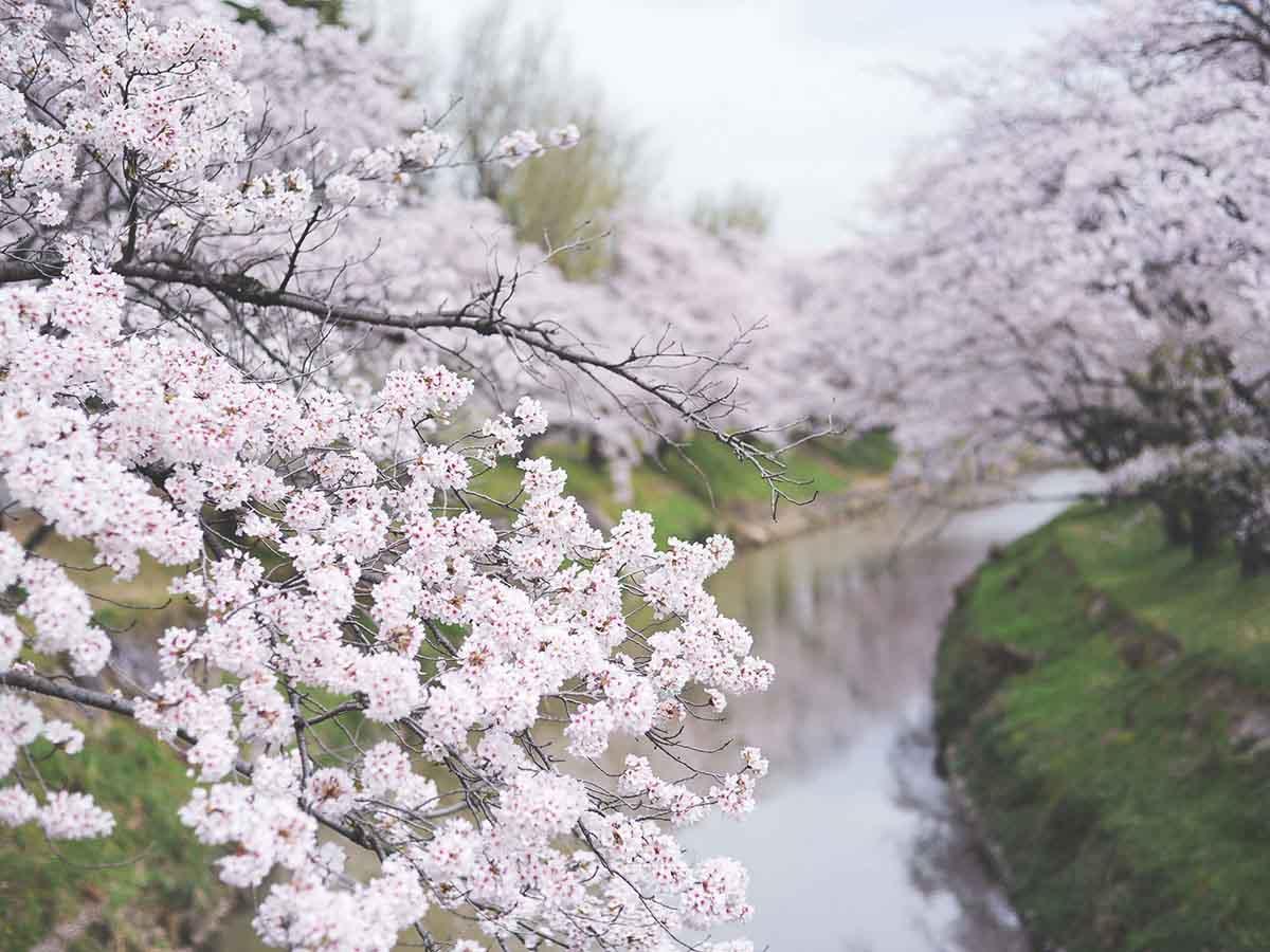 新境川堤の桜:各務原市