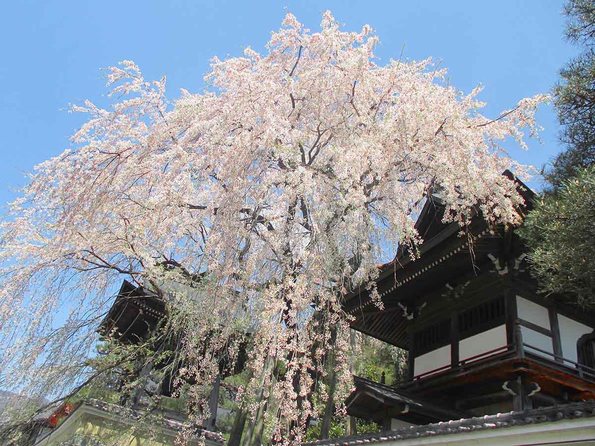 浄福寺のしだれザクラ:下呂市