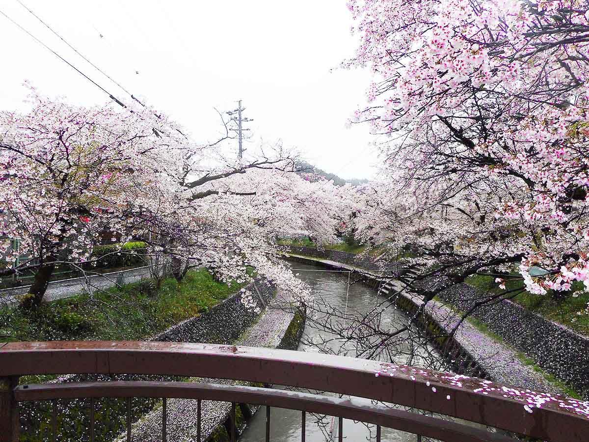 吉田川の桜:関市