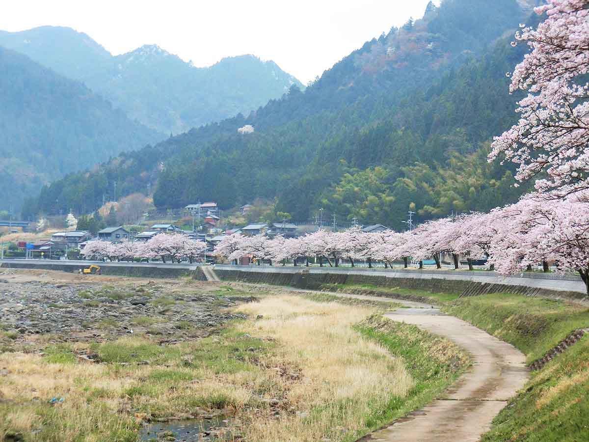 国道156号線沿いの桜並木:美並町