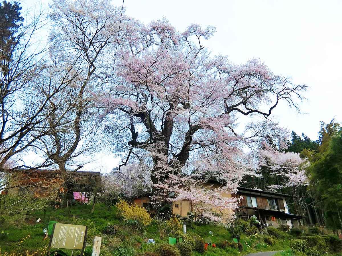 新田の桜:恵那市