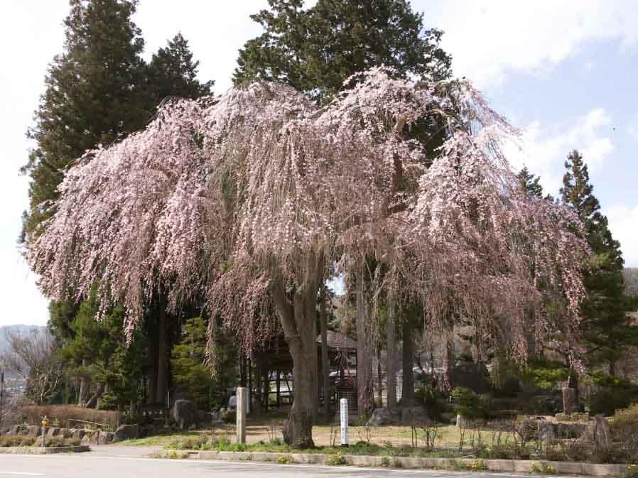 薬師堂の枝垂れ桜:高山市