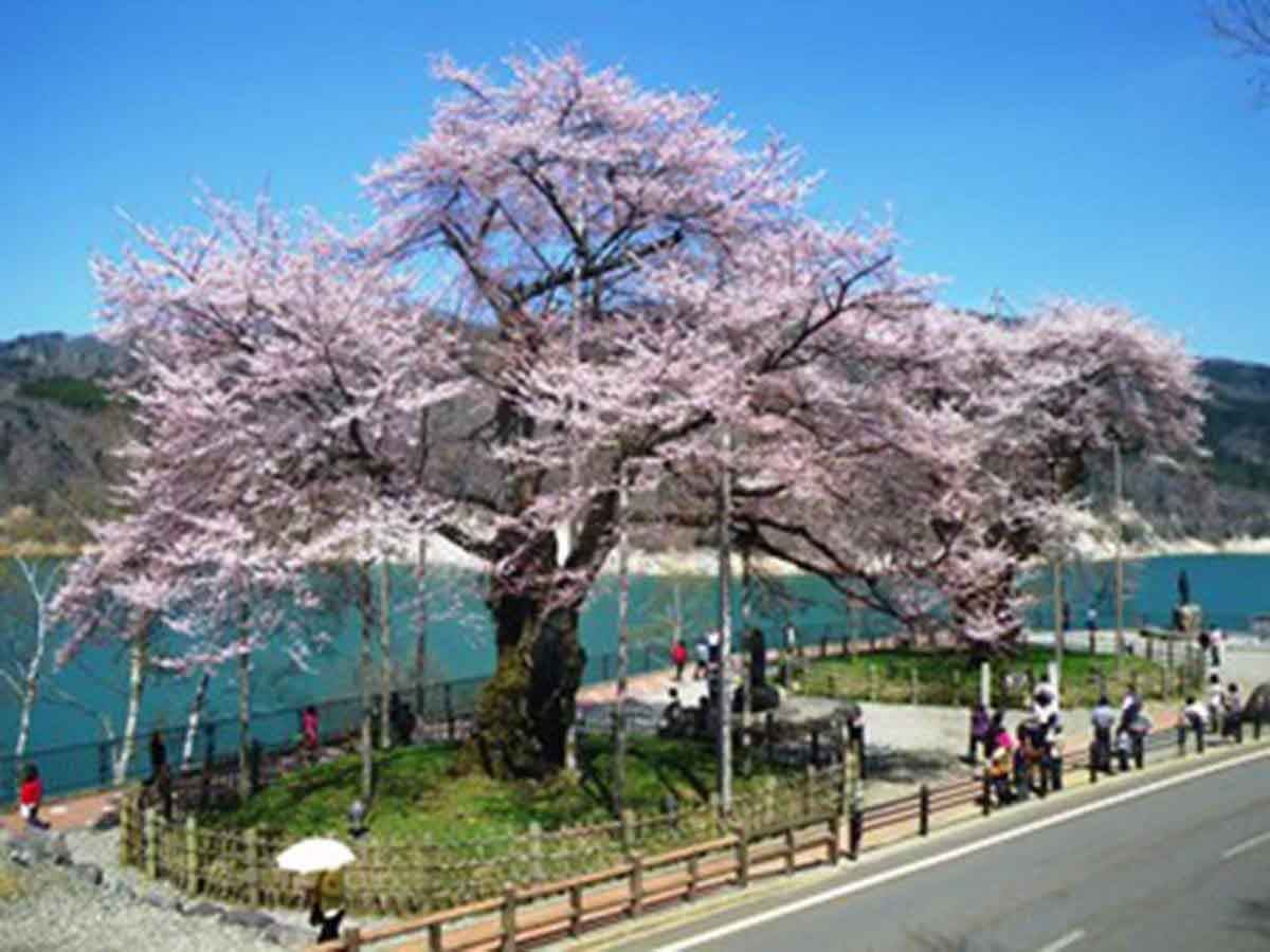 荘川桜:高山市