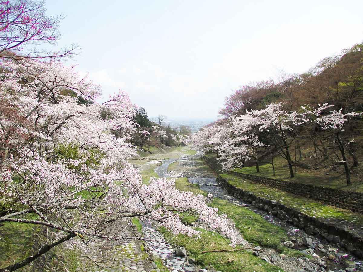 養老公園の桜:養老町